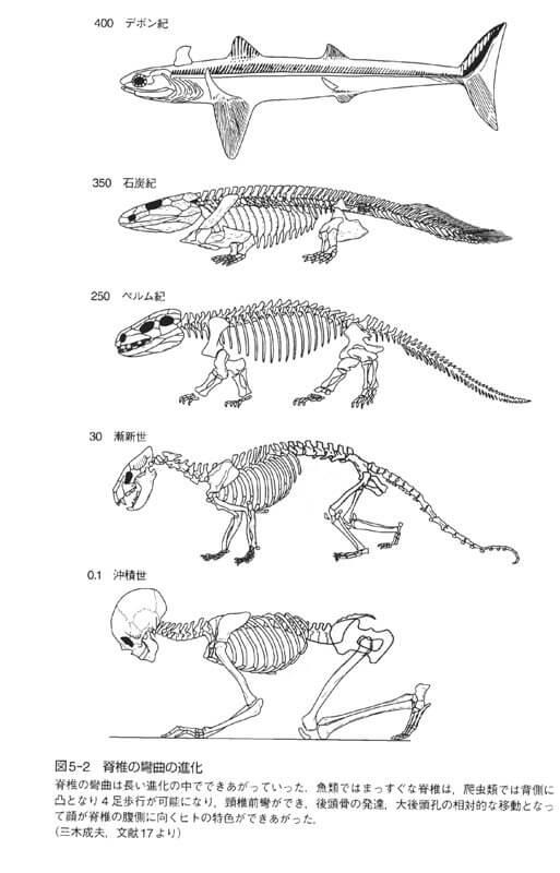 脊椎動物の進化『美しく立つ-スポーツ医学が教える3つのA』より